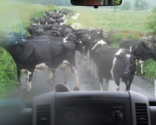 'Cows blocking the road' ~ photo by Wendy Willis