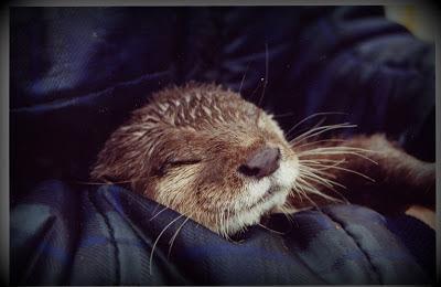 dphne-nevilles-otter