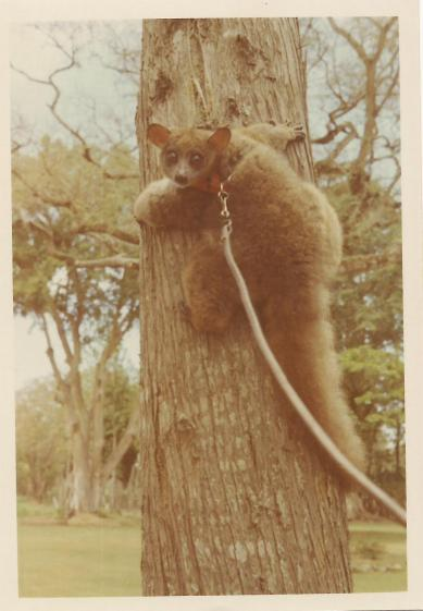 tame-lemur