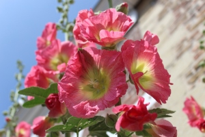Hollyhocks of Veere